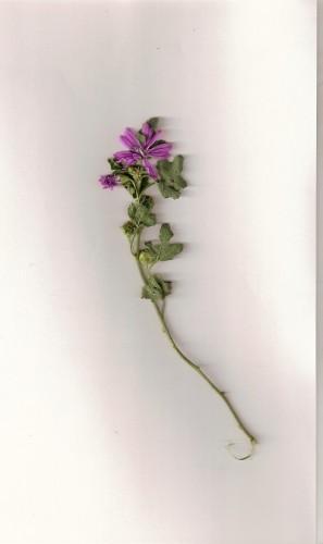 fleurmauve0001.jpg